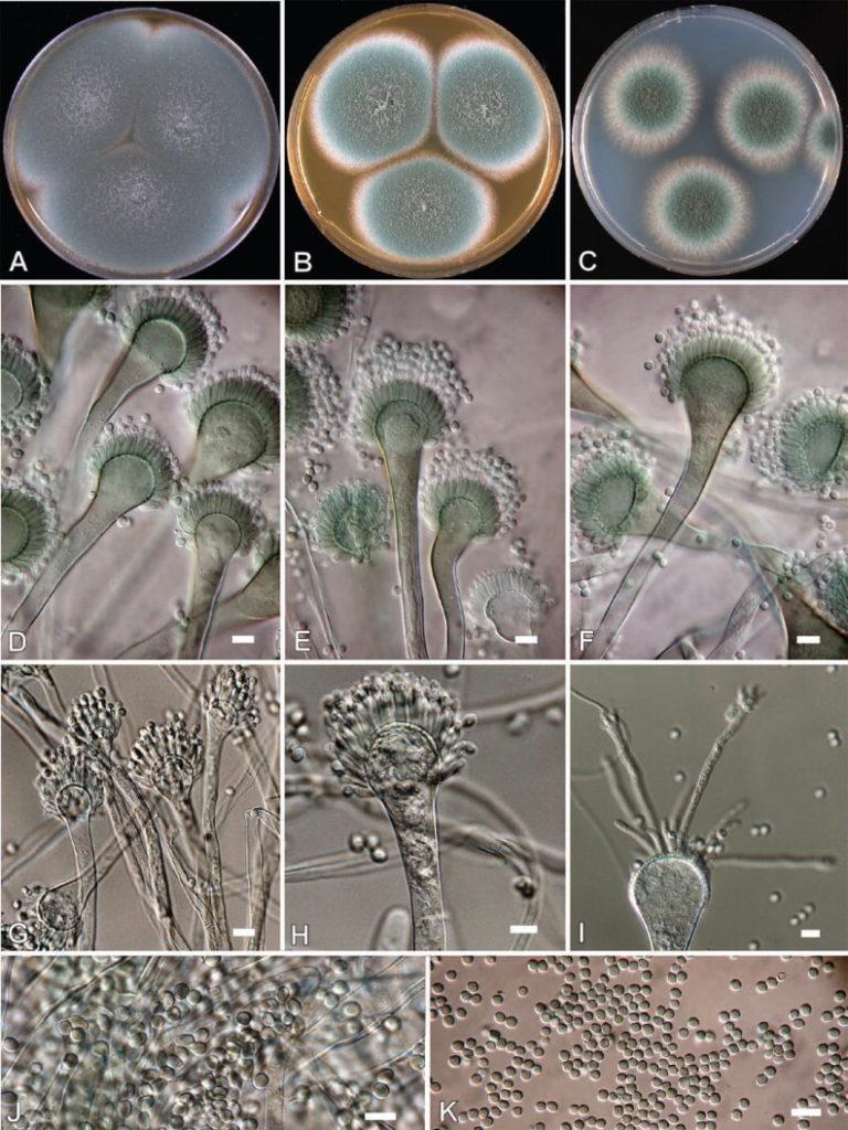 What is Aspergillus? | Mold Safe Solutions